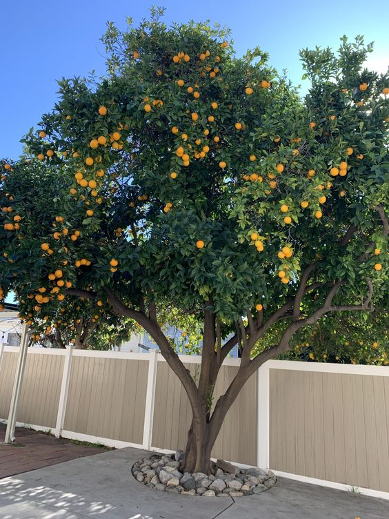 Modern Victorian terrace backyard with an orange tree