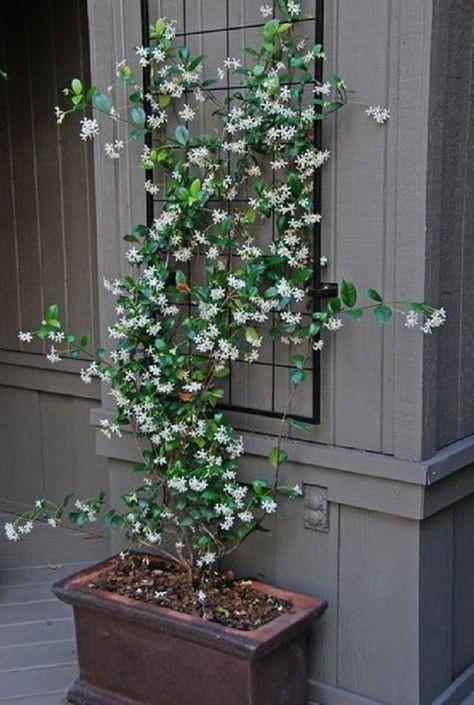 Jasmine flower for modern Victorian terrace backyard