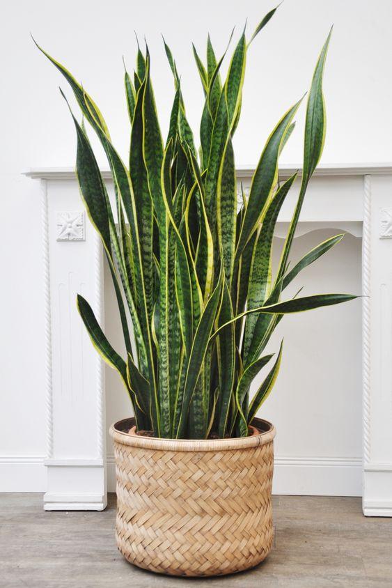Sansevieria plant