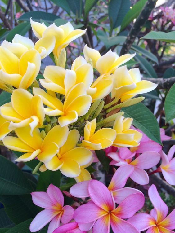Frangipani plants