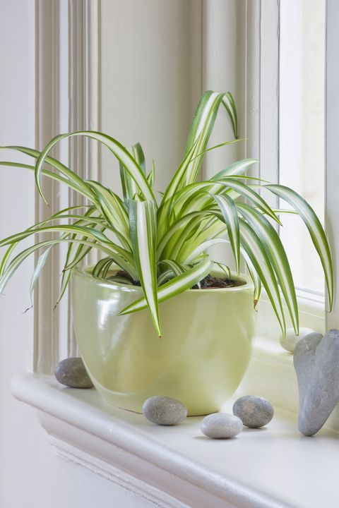 Spider plant for an eclectic room