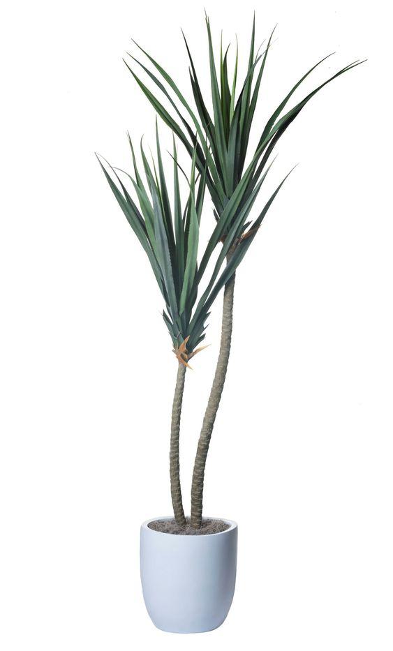 Pandanus tropical plant